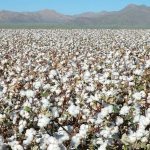 Top 10 Largest Cotton Producing Countries in The World