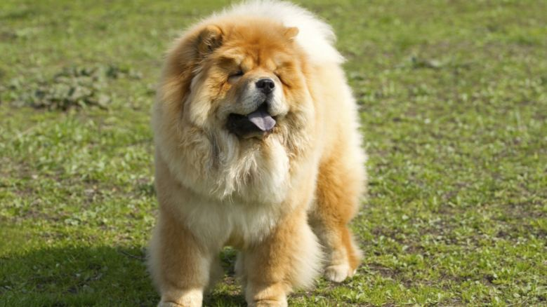 Chow chow Top Most Dangerous Dog Breeds 2017