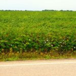Top 10 Largest Cotton Producing States in India