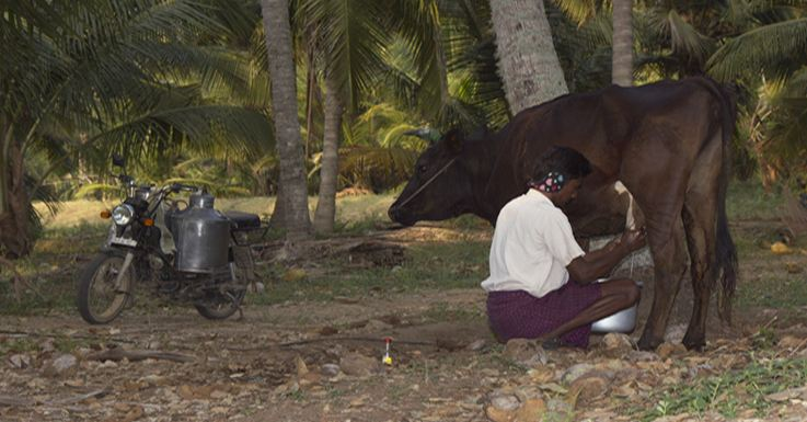 tamil nadu, Top 10 Highest Milk Producing States in India 2017