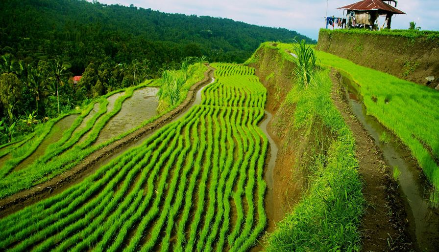 Indonesia Top 10 Rice Producing Countries in The World