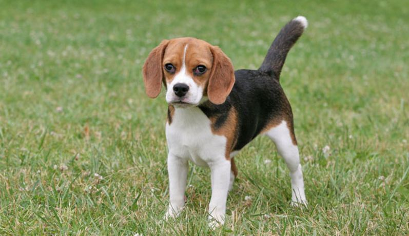 beagle-top-10-famous-dog-breeds-in-the-world-2017