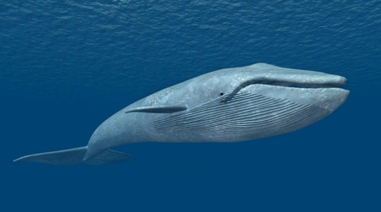 blue-whale-top-most-largest-living-animals-in-the-world-2017