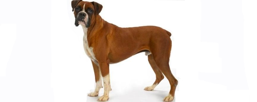boxer-top-10-most-popular-selling-dog-breeds-in-the-world-2017