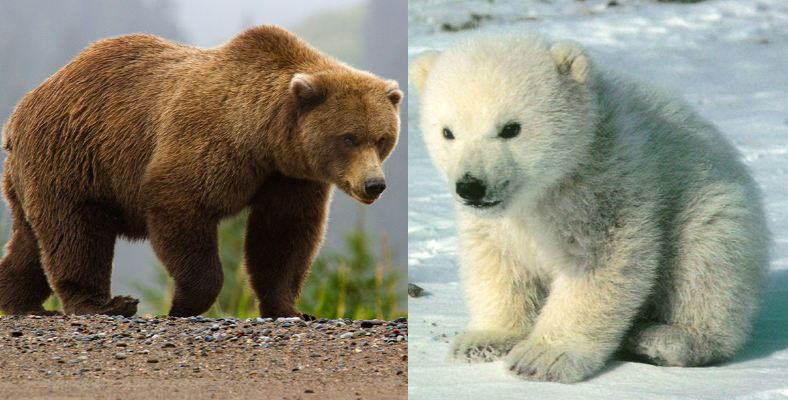 brown-bear-and-polar-bears-top-popular-largest-living-animals-in-the-world-2018