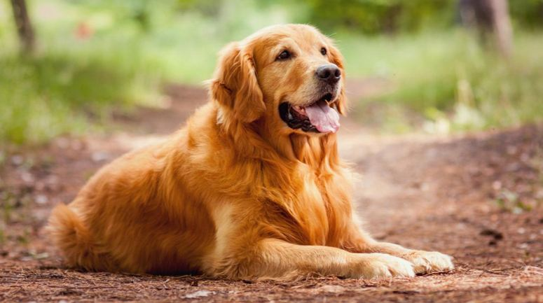 golden-retriever-top-10-most-beautiful-dog-breeds-in-the-world