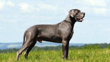 great-dane-top-most-popular-largest-dog-breeds-in-the-world-2018