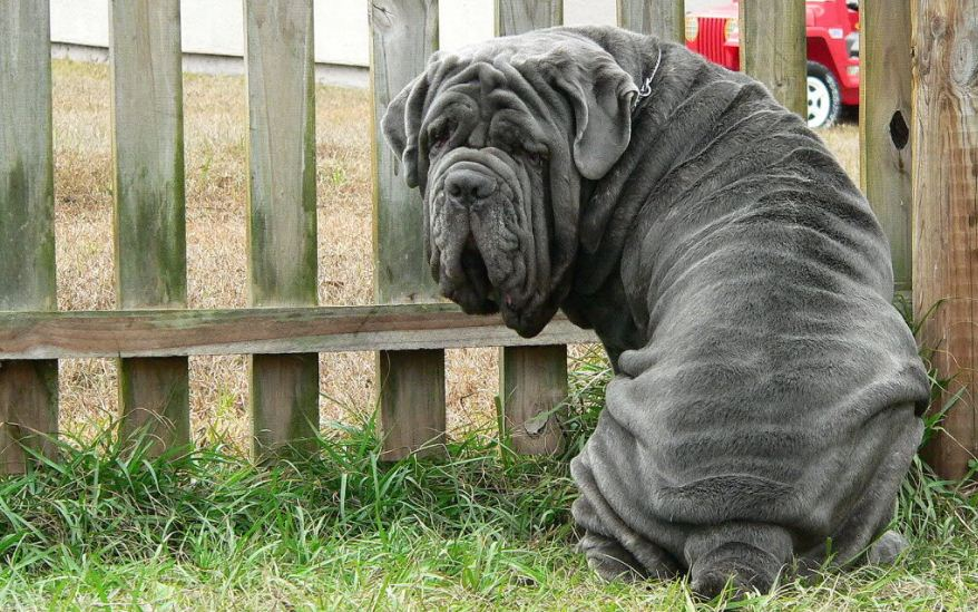 neapolitan-mastiff-top-10-largest-dog-breeds-in-the-world