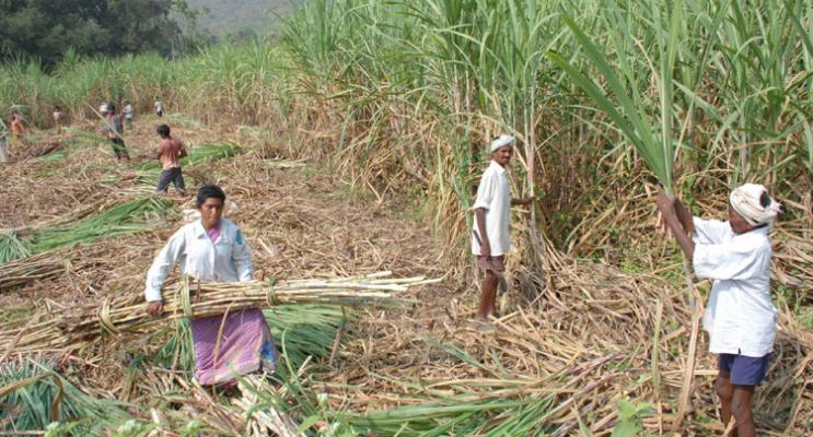 Largest Sugarcane Producing States In India 2019