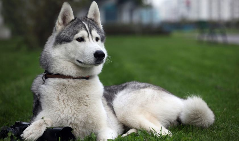 the-siberian-husky