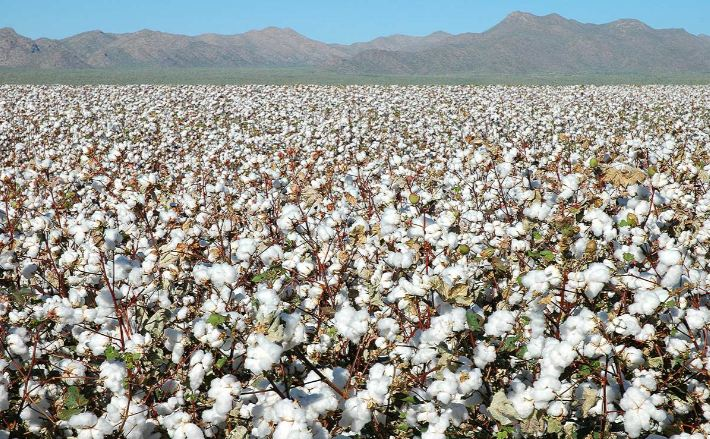 Largest Cotton Producing Countries 2019