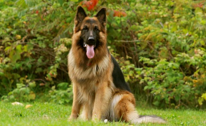 Most Dangerous Dog Breeds