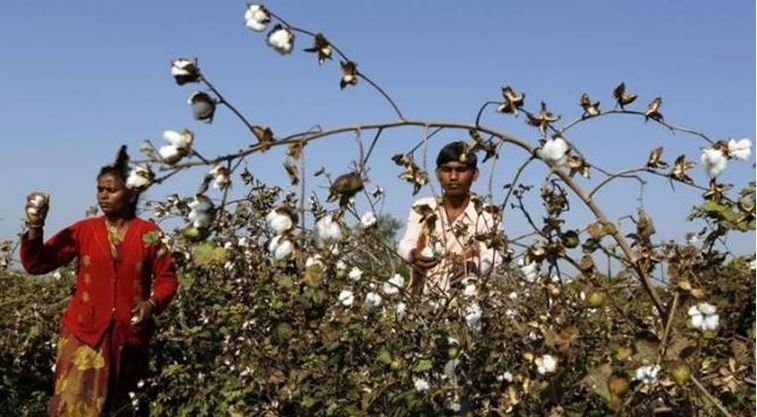 Largest Cotton Producing States in India 2019