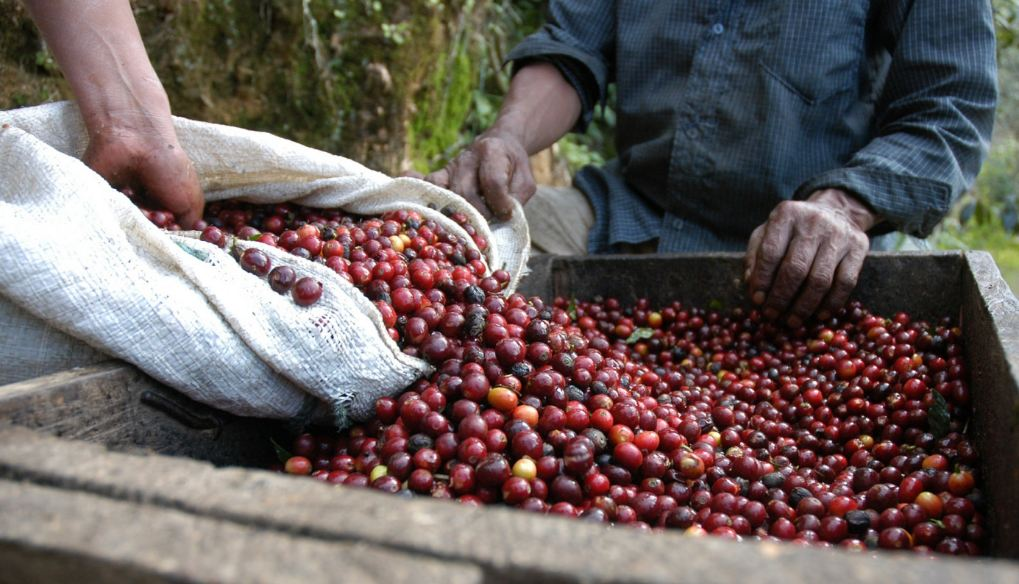 Largest Coffee Producing Countries 2019