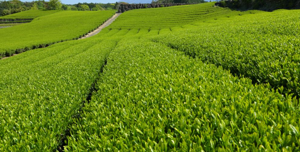 Largest Tea Producing Countries