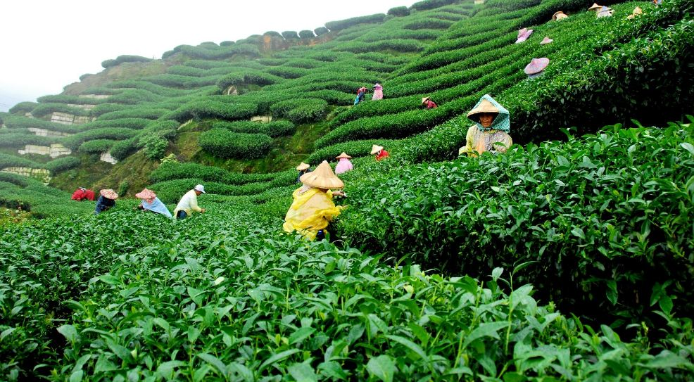 Largest Tea Producing Countries 2019